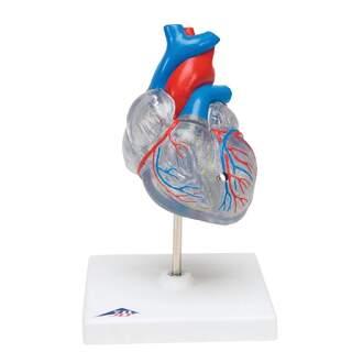 Reduziertes und transluzentes Herzmodell mit dem Netzhautsystem