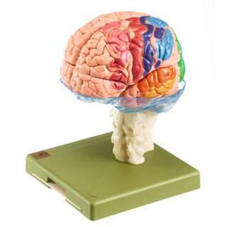 Gehirnmodell in 15 Teilen mit cytoarchitektonischen Bereichen