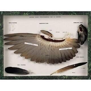 Flügel und Federn einer Taube (Columba palumbus)