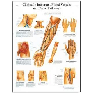 Klinisch wichtige Blutgefäße und Nerven (klinisch wichtige Blutgefäße und Nerven)