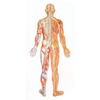 Großes Poster des Nervensystems von hinten mit Holzlisten