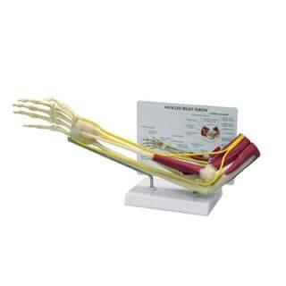 Ellenbogen- und Unterarmskelett mit Muskeln, Nerven und Bändern