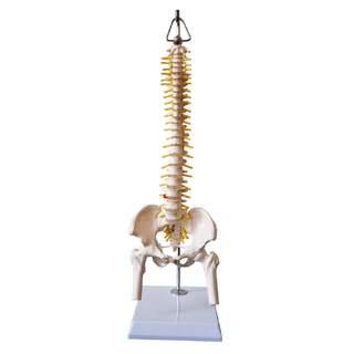 Mini-Wirbelsäulenmodell mit Becken, Nerven und einem Teil des Femurs