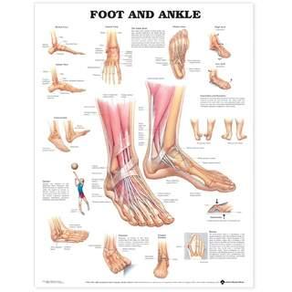 Anatomie Poster - Fuß / Sprunggelenk