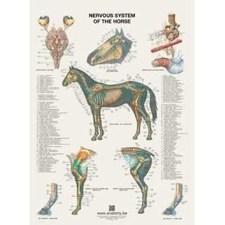 Das Nervensystem des Pferdes Poster 60x80 cm