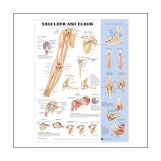 Schulter und Ellenbogen laminierte Poster 51x66 cm