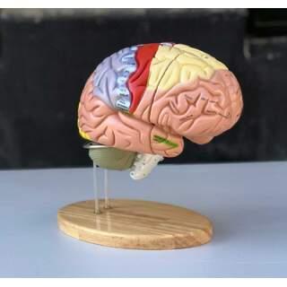 Großes Bildungsgehirnmodell mit Farben, Namen und in 5 Teilen auf dem Stand