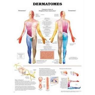 Poster von Dermatomen in englischer Sprache