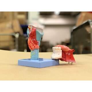 Strupe-Modell mit Hals und Zunge in 5 Teilen