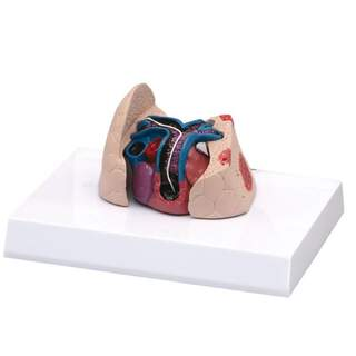 Katzenherz- und Lungenmodell mit Herzwurm