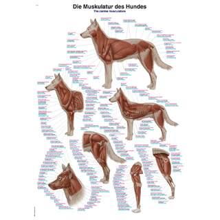 Muskulatur des Hundes 70x100 cm Poster - reine Latein, Englisch und Deutsch Nomenklatur