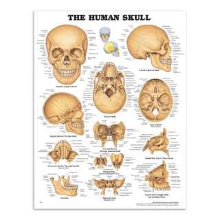 Der Schädel laminierte Plakat (Menschlicher Schädel)