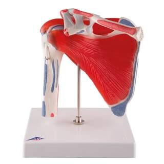 Bewegliches Schultermodell des Schaftes mit Muskeln, fünfteilig
