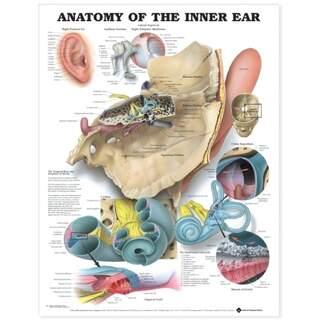 Das Innenohr englisch laminiert (Anatomie des Innenohrs)