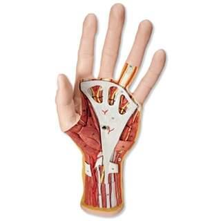Fortgeschrittenes Handmodell mit zwei abnehmbaren Teilen