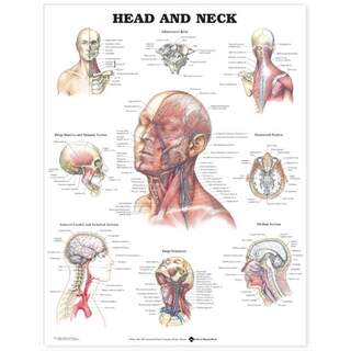 Plansch mit Schädelgehalt und Muskeln, Blutgefäßen & Nerven im Gesicht & am Hals Englisch