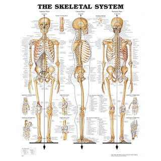 Anatomie Poster - Skelett