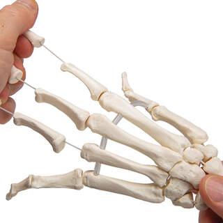 Modell des Handskeletts auf Gummizug und beiden Unterarmen