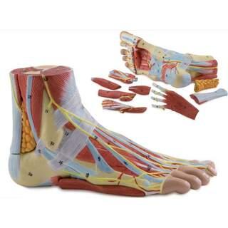 Fußmodell mit Bändern, Muskeln, Blutgefäßen und Nerven - 9 Teile