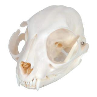 Katzen-Schädel (Felis catus)