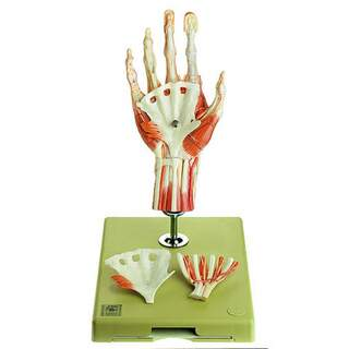 Handmuskelmodell mit einem Teil des Unterarms, stehend