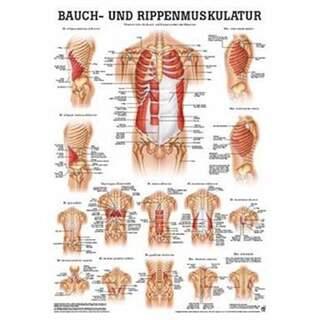 Bauch- und Brustmuskeln Poster