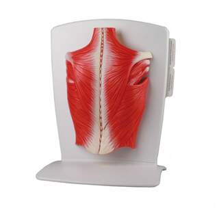 Modell der Rückenmuskulatur in 4 Teilen
