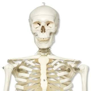 Skelett, natürliche Größe von 3B Scientific