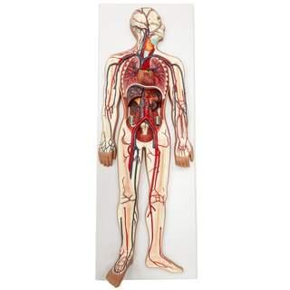Modell des Herz-Kreislaufsystems