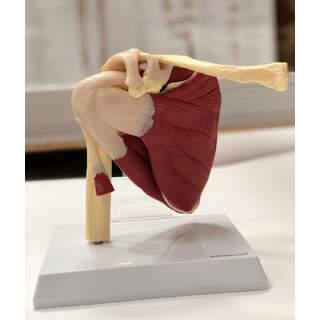 Schultermodell mit Muskeln und Bändern