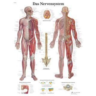 Das Nervensystem (Ihr Nervensystem) laminiert Poster 51x67 cm rein Latein und Deutsch