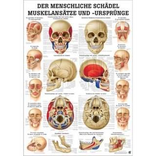 Laminierte Schädelplanke mit muskulösen Hosenträgern Deutsch & Latein