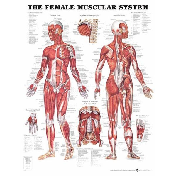Female Muscle - Anatomie Poster 51x66 cm | Muskel Poster | Musculo ...