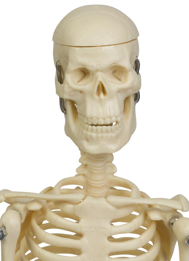 Micro Skelett 45 cm | Knochen-Modelle | Bewegungsapparat ...