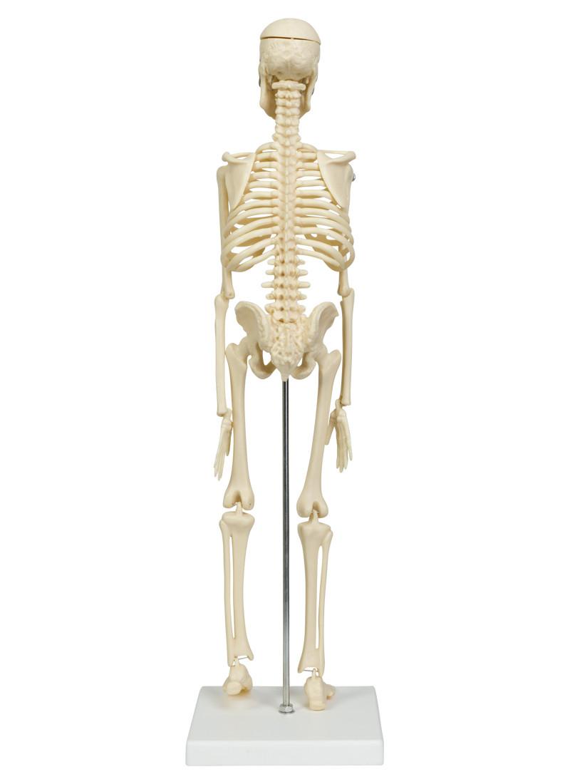 Gemütlich Knöchel Skelett Zeitgenössisch - Menschliche Anatomie ...