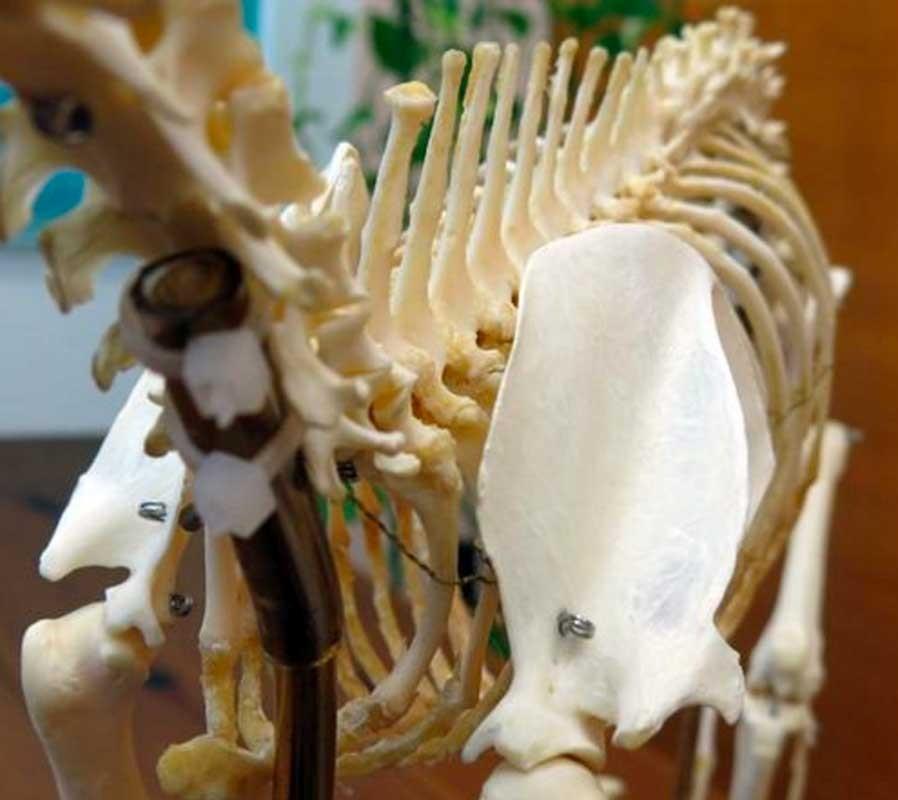 Echte Katzen-Skelett (Felis catus) mit flexiblen Verbindungen