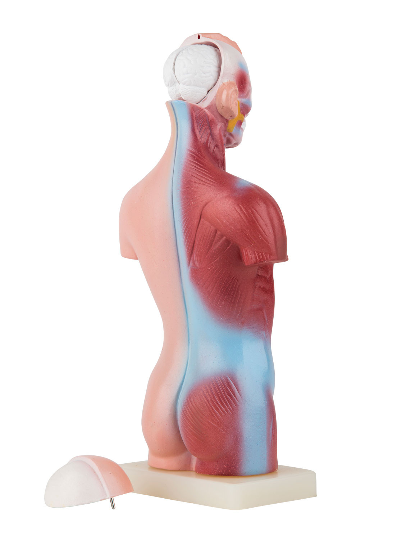 Ungewöhnlich Grobe Anatomie Des Atmungssystems Galerie - Anatomie ...