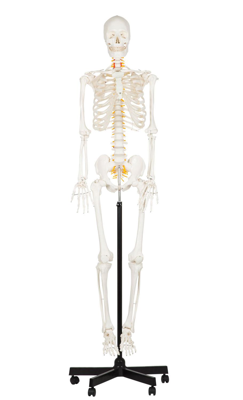 Study Skelett mit Nerven in voller Größe | Knochen-Modelle ...