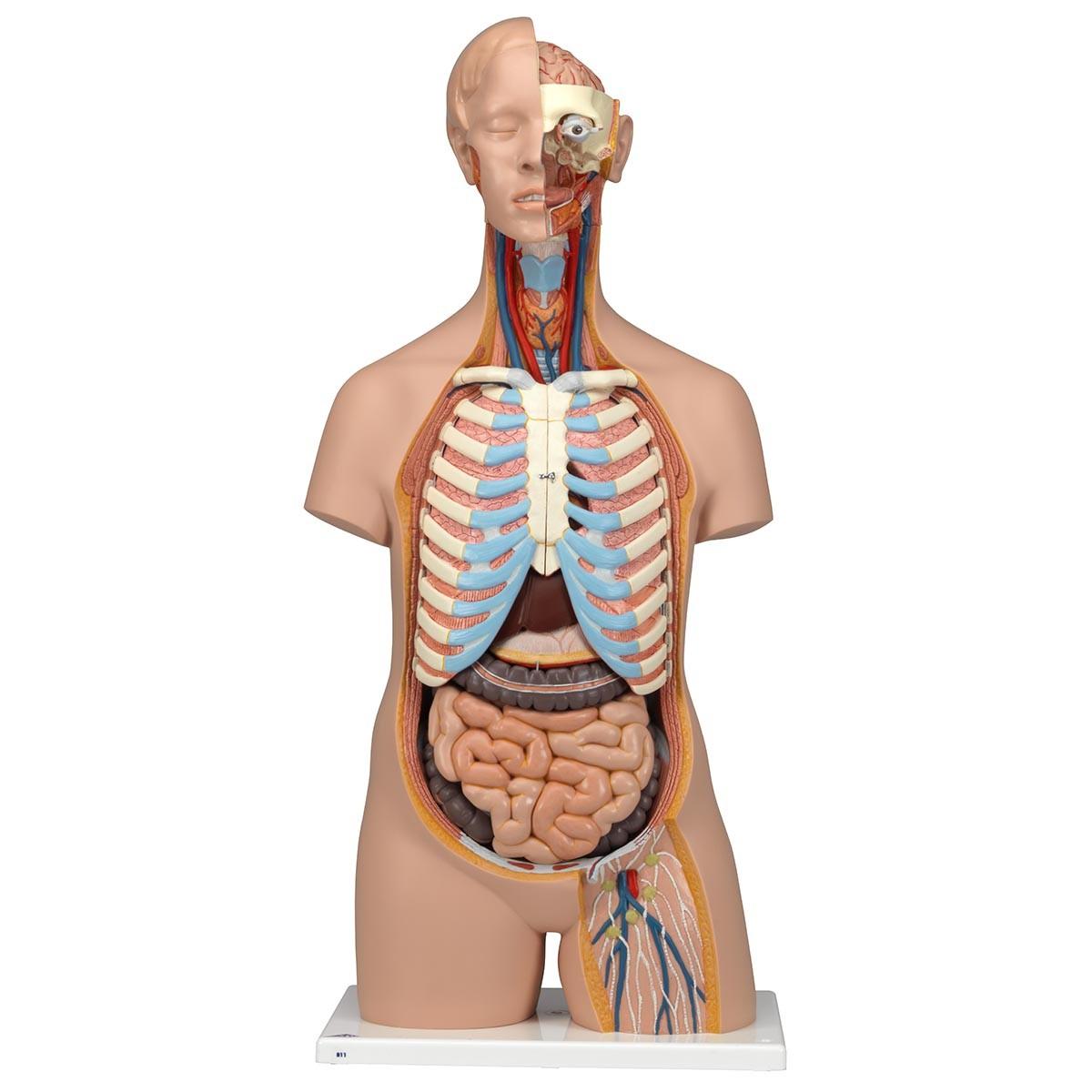 Groß Torso Anatomie Bilder - Menschliche Anatomie Bilder ...