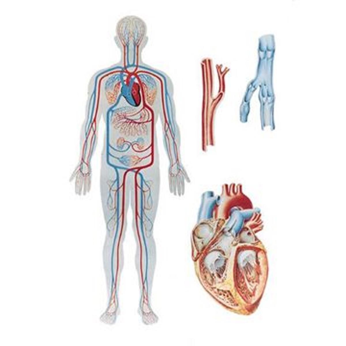 Die Blutzirkulation Plate - 84x118 cm   Das Herz und Gefäßsystem ...