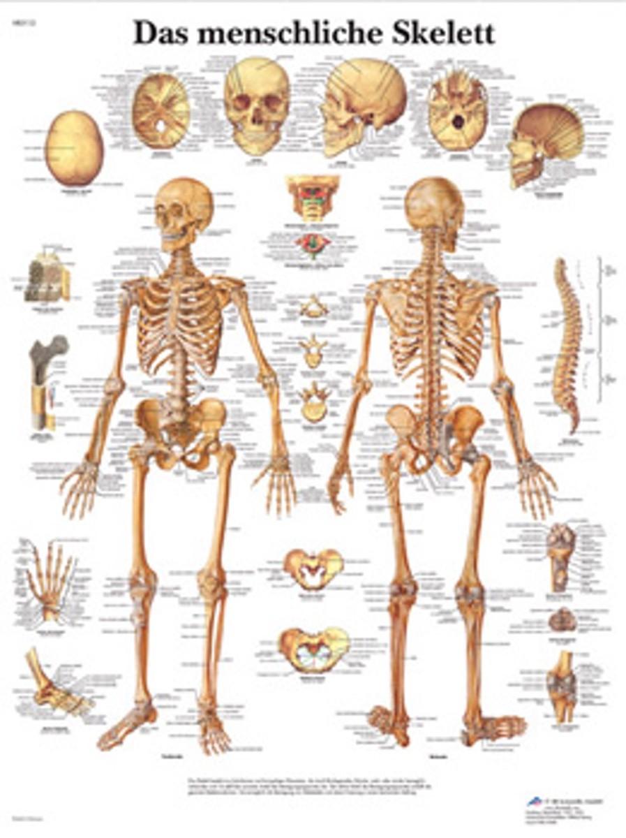 Skelettet affisch ren latin 51x67 cm | Skelett Poster | Musculo ...