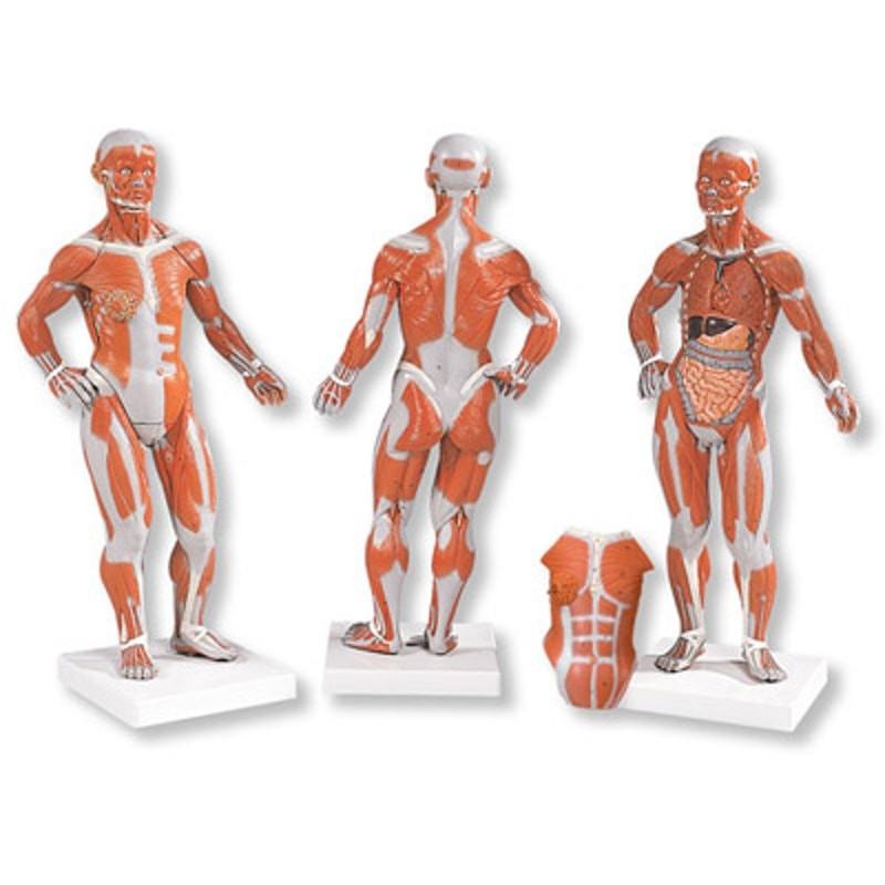 Erfreut Modelle Anatomie Und Physiologie Gekennzeichnet Bilder ...
