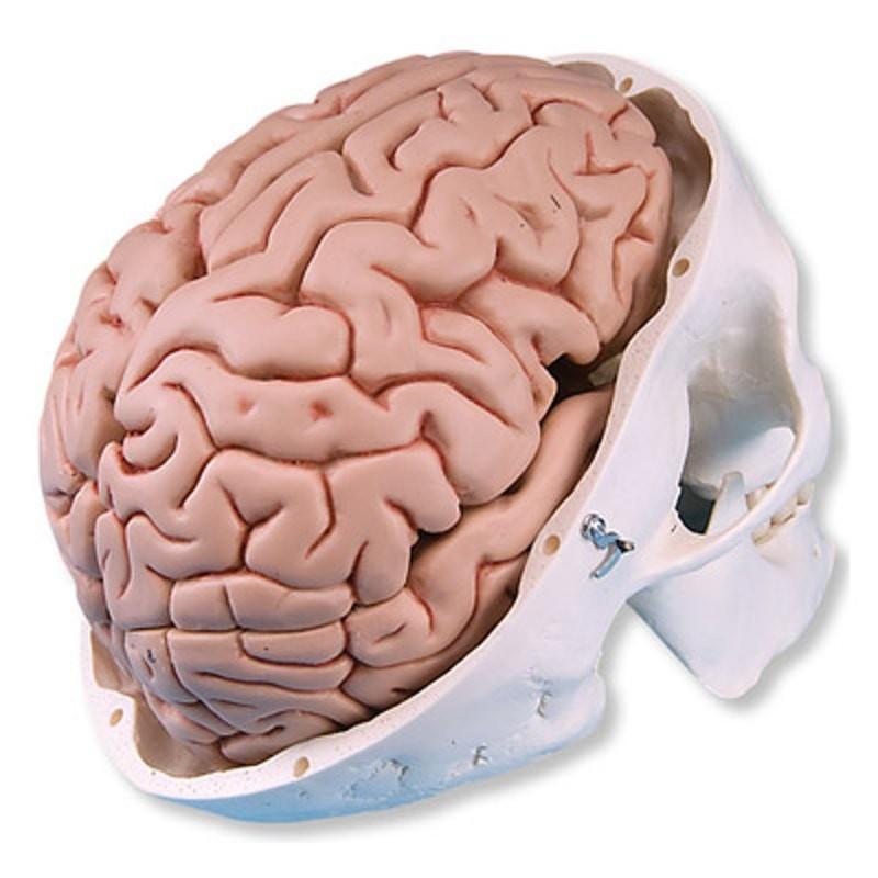 Gehirn in der Schale natürliche Größe 8 Teil | Brains / Nervensystem ...