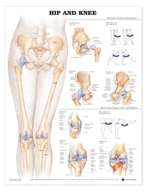 Anatomie Poster - Hüfte / Knie   Fuß Hüft- und Knie Poster   Musculo ...