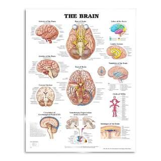 Gehirn laminiertes Poster