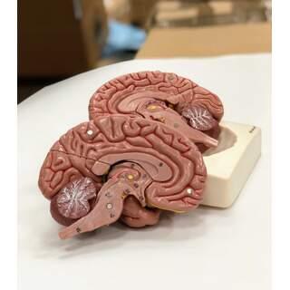 Gehirnmodell in acht Teilen