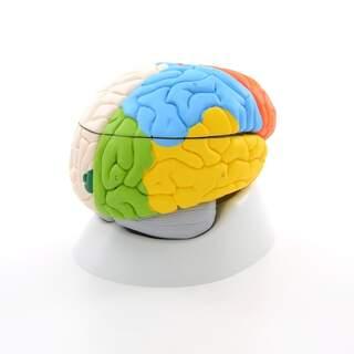 8-teiliges Gehirn-Modell