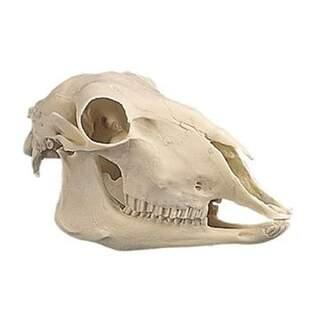 Sheep Schädel aus Kunststoff (Ovis aries)