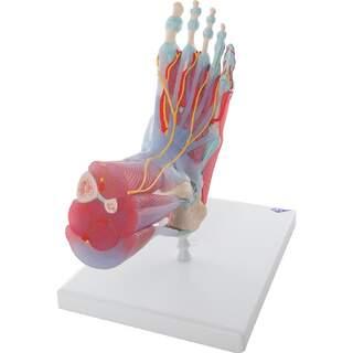 Fuß mit Muskeln, Blutgefäße , Nerven, Bänder in sechs Teilen