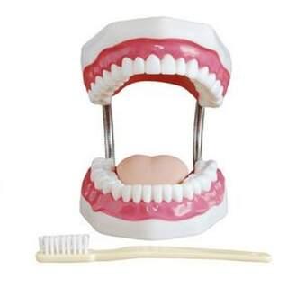 Anatomisches Zahnmodell